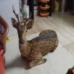 Deer falls into a Mumbai home while being 'chased' by a leopard